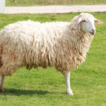 Adopt Leicester Longwool Sheep