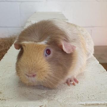 Adopt the Guinea Pigs